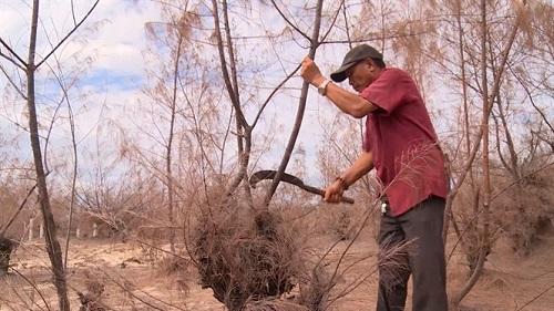 Hàng trăm héc ta rừng phòng hộ chết khô