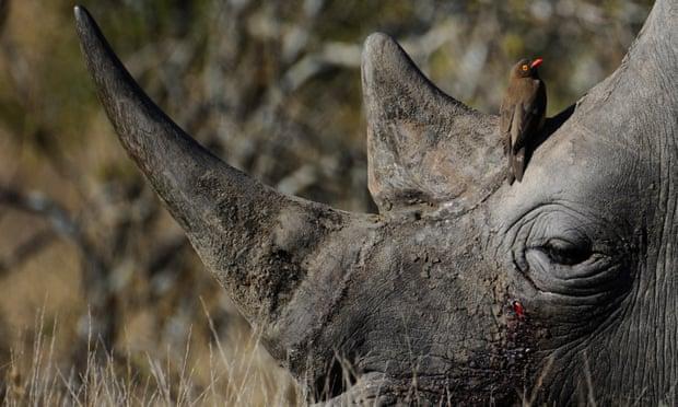 Nam Phi vẫn được săn bắn tê giác đen làm chiến lợi phẩm