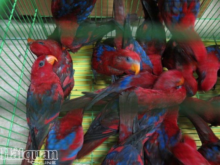Hơn 300 cá thể vẹt quý chưa tìm được chủ