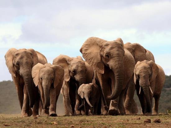 Chấm dứt xuất khẩu voi châu Phi cho các cơ sở nuôi nhốt động vật hoang dã