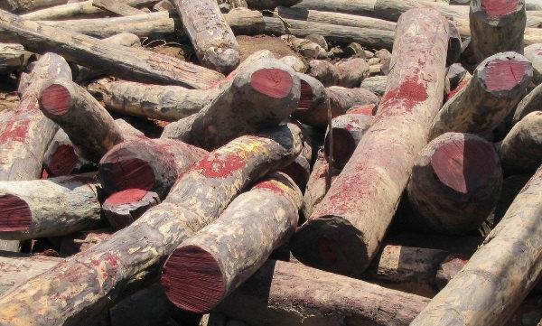 Bảo vệ rừng tự nhiên châu Phi khỏi nạn tham nhũng