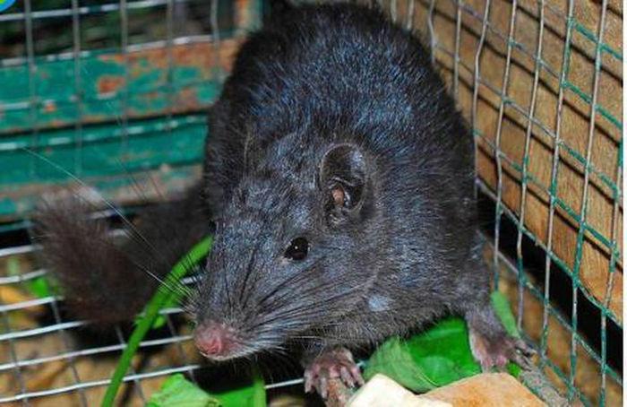 Loài chuột tuyệt chủng xuất hiện trở lại - Kiểm Sát Online